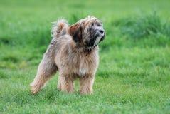 Chien terrier tibétain Photos stock