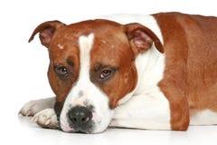 Chien terrier triste du Staffordshire Image libre de droits