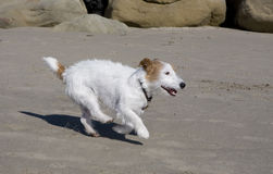 Chien terrier Wire-haired de russell de plot Photos stock