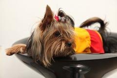 chien terrier Yorkshire Image libre de droits