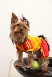 chien terrier Yorkshire Images libres de droits