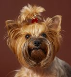 chien terrier Yorkshire Photographie stock