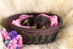 chien terrier Yorkshire de chiot Photo libre de droits