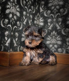 chien terrier Yorkshire de chiot Photo libre de droits