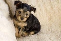chien terrier Yorkshire de chiot Photos libres de droits