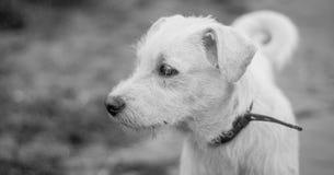 Chien triste de photographie noire et blanche bruyante avec un collier image stock