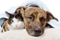 Chien triste et chat se trouvant sur un oreiller sous une couverture D'isolement sur le blanc Images libres de droits