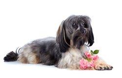 Chienchien et roses décoratifs. Photos stock