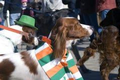 Chiens à la célébration de jour du ` s de St Patrick à Moscou Images libres de droits
