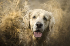 Chiens Image stock