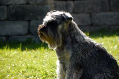 Chiens Images stock