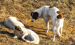 Chiens Photographie stock