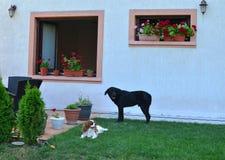 Chiens adorables dans une arrière-cour Photo libre de droits
