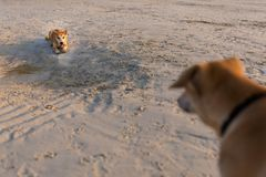 Chiens amicaux sur Koh Larn Photo libre de droits