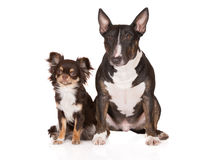 Chiens anglais de bull-terrier et de chiwawa Photographie stock