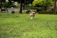 Chiens blancs de chiwawa fonctionnant sur la pelouse Image stock