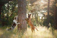 Chiens border collie et berger belge dans les bois Photo stock