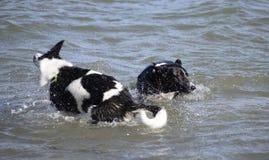 Chiens croisés de colley nageant en mer Photographie stock