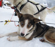 Chiens d'Alaska de Husky Sled Image libre de droits