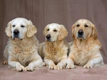 chiens d'arrêt d'or adultes de verticale Photos libres de droits
