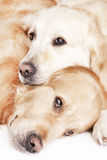 chiens d'arrêt d'or deux photo libre de droits