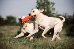 Chiens d'arrêt de Labrador Photographie stock libre de droits