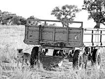 Chiens dans la campagne en noir et blanc photographie stock libre de droits