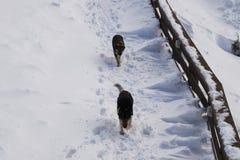 Chiens dans la neige Image stock