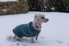 Chiens dans la neige avec des vêtements de chien Photo libre de droits