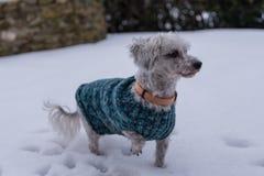 Chiens dans la neige avec le manteau de chien Photo libre de droits
