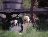 2 chiens de berger australiens Images libres de droits