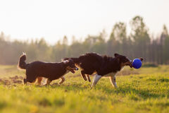 Chiens de berger australiens jouant avec une boule Photos libres de droits
