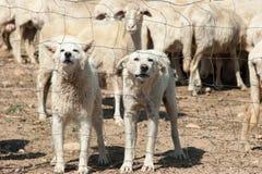 Chiens de berger blancs Photo stock