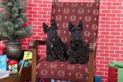 Chiens de Bichon attendant Santa Photos libres de droits