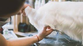 Chiens de blanc de ciseaux de coupe de cheveux Chien se toilettant dans le salon de toilettage Orientation peu profonde Photo stock