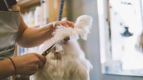 Chiens de blanc de ciseaux de coupe de cheveux Chien se toilettant dans le salon de toilettage Orientation peu profonde Photo libre de droits