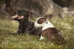 Chiens de bull-terrier du Staffordshire en parc Photographie stock