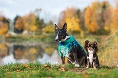 Chiens de bull-terrier et de chiwawa posant en automne Photographie stock