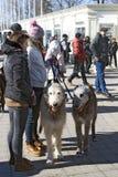 Chiens de chien-loup irlandais à la célébration de jour du ` s de St Patrick à Moscou Photos libres de droits