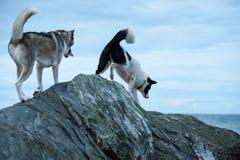 Chiens de chiens de traîneau s'élevant au-dessus des roches Image libre de droits