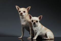 Chiens de chiwawa du portrait deux se reposant sur le fond bleu Photographie stock libre de droits