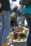 Chiens de corgi à la célébration de jour du ` s de St Patrick à Moscou Photos stock