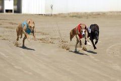 Chiens de coureur au début de course de chien images libres de droits
