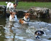 Chiens de Jack Russel Terrier jouant dans un étang Photographie stock libre de droits