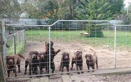 Chiens de Labrador de chocolat dans la ferme d'éleveur Image libre de droits