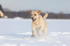 Chiens de labrador retriever Photo stock