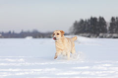 Chiens de labrador retriever Photos libres de droits
