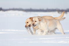 Chiens de labrador retriever Image stock