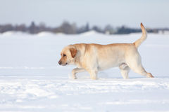 Chiens de labrador retriever Photos stock