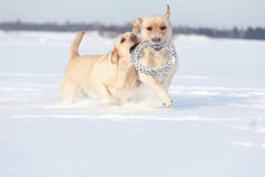 Chiens de labrador retriever Photographie stock
